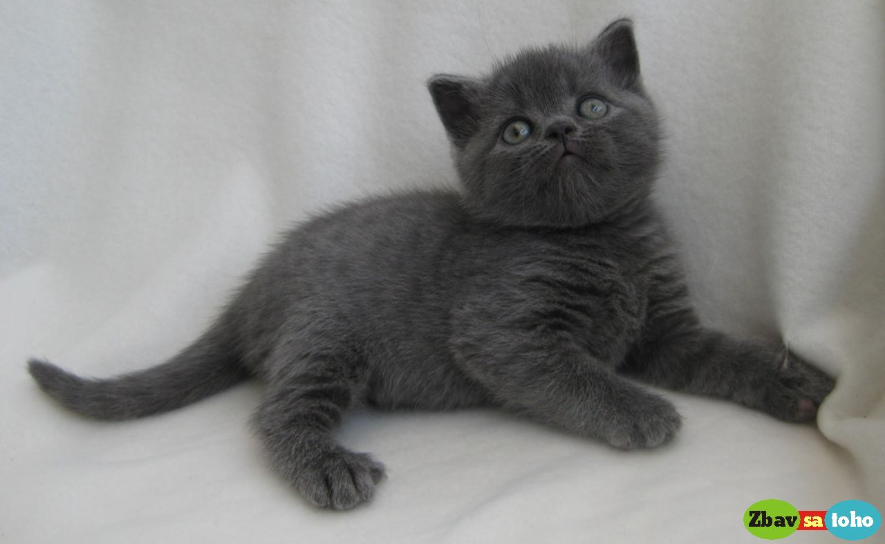 Britské mačiatka 3cd97f4fe18
