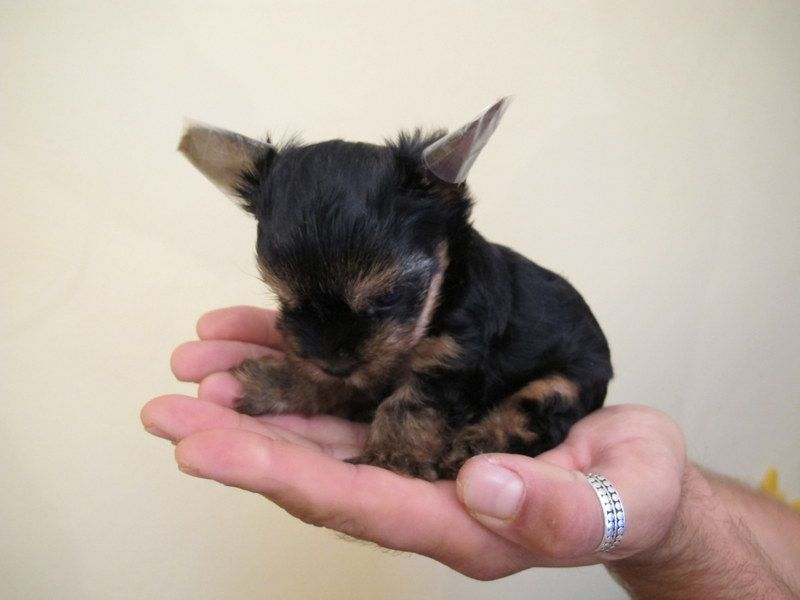 Yorkshire terier mini šteniatko 63ce67d6563
